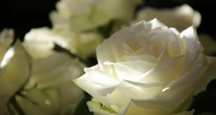 rose du deuil